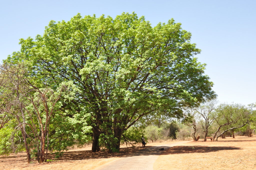 Boom van die Jaar 2020 in Suid Afrika – Essenhout