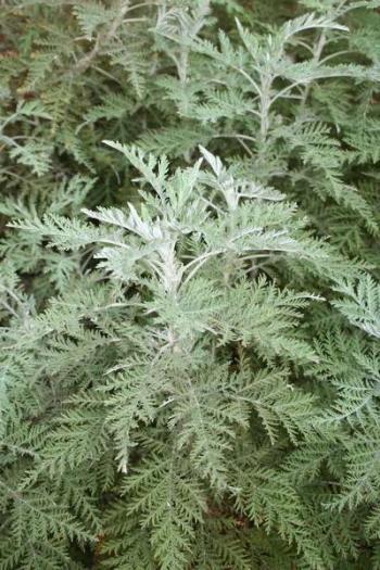 Happy by Nature – wilde als / Artemisia Afra